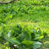 Swamp cabbage (skunk cabbage), cooked, boiled, drained, without salt