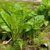 Swamp cabbage, (skunk cabbage), raw